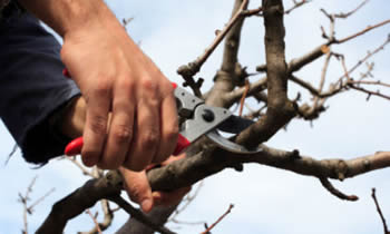 Tree Pruning in Greenville NC Tree Pruning Services in Greenville NC Quality Tree Pruning in Greenville NC